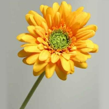 Natürliche Gerbera gelb, Trauerschmuck künstlich. D 10cm bei Trauer Shop