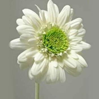 Kunstpflanzen Blumengestecke - schöne Gerbera natürlich, D13cm bei Trauer Shop