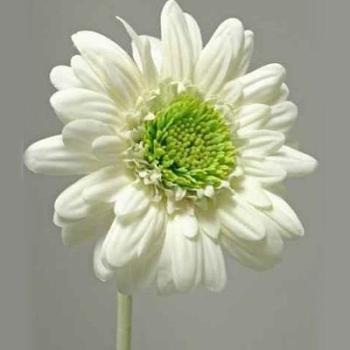 Kunstblume, Trauerblume Gerbera natürlich, Blüten D 10cm bei Trauer Shop